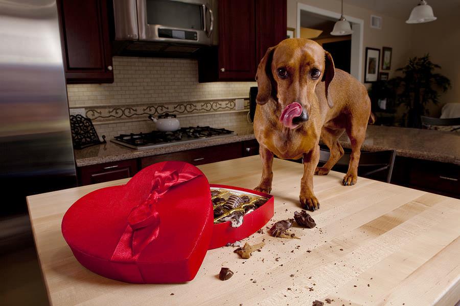 Почему нельзя давать сладкое собакам