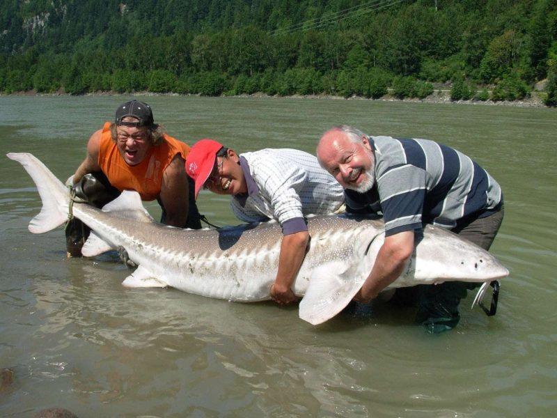 Фото большой рыбы белуга